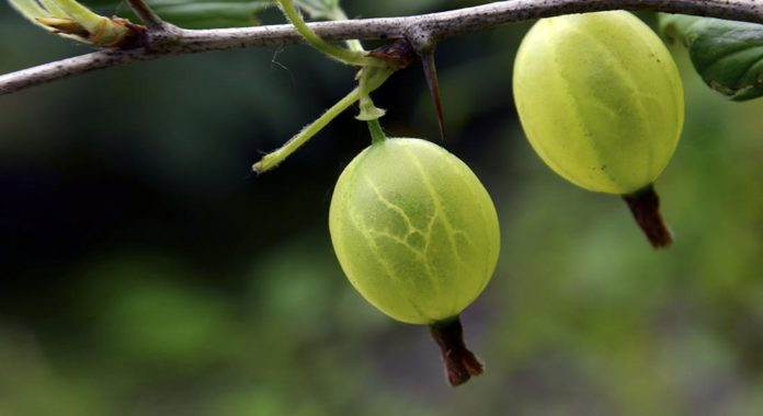 Is Gooseberry Really a superfood? 9 Reasons Why You Should Include it in Your Diet!