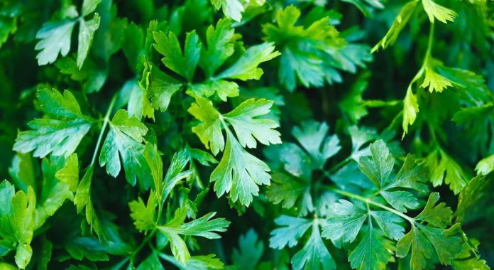 5 Amazing Health Benefits of Parsley You Should Definitely Know-By Dr. Rajprabha Patra