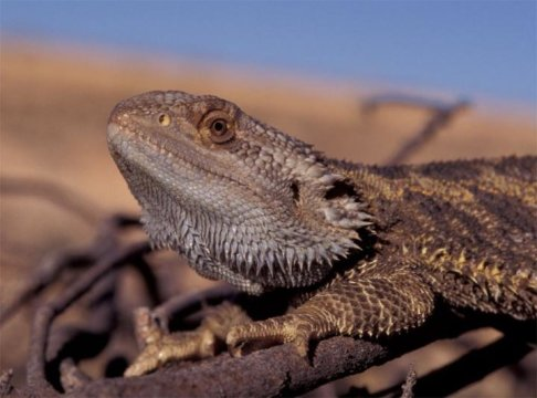Girls will be boys: Sex reversal in dragon lizards