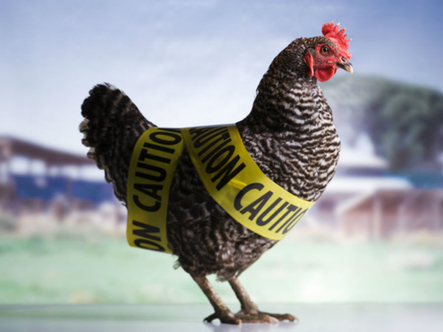BIRD FLU: SYMPTOMS, TREATMENT & PREVENTION