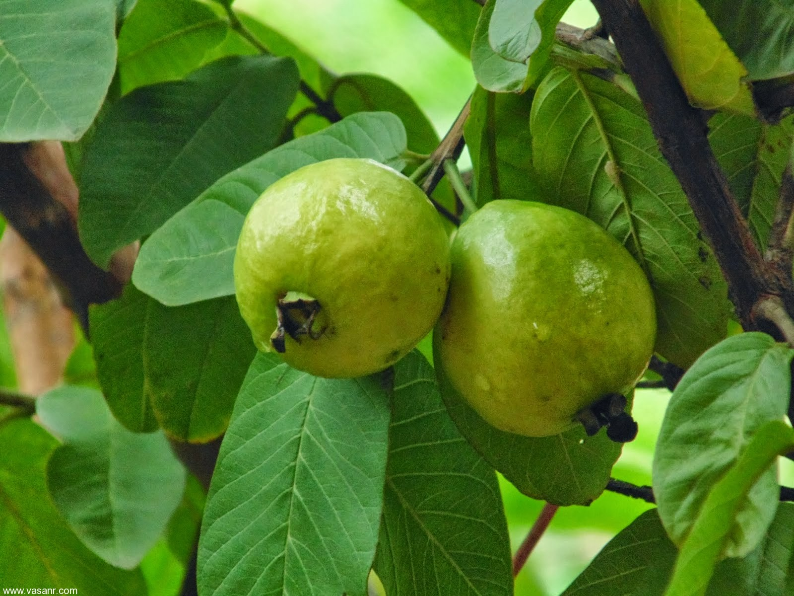 Pictures Of Guava Leaves