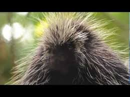 Inspiration from a porcupine's quills