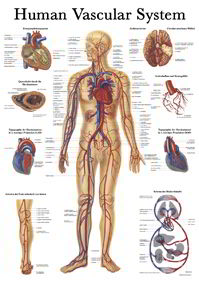 What is Vascular system?