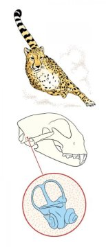Cheetahs' inner ear is one of a kind, vital to high-speed hunting