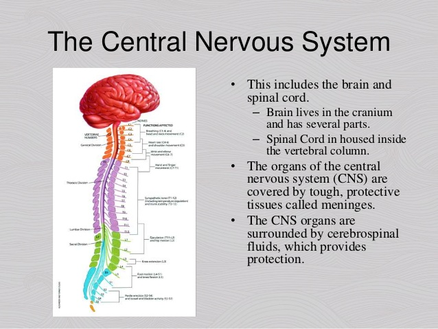 What is Central Nervous System