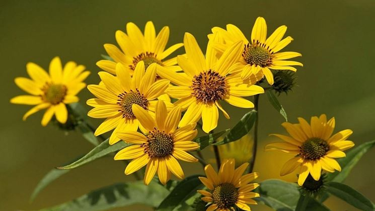 What is Arnica Montana?