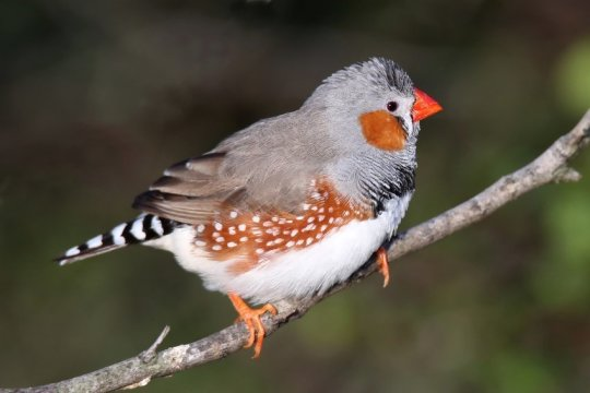 Do birdsong and human speech share biological roots?