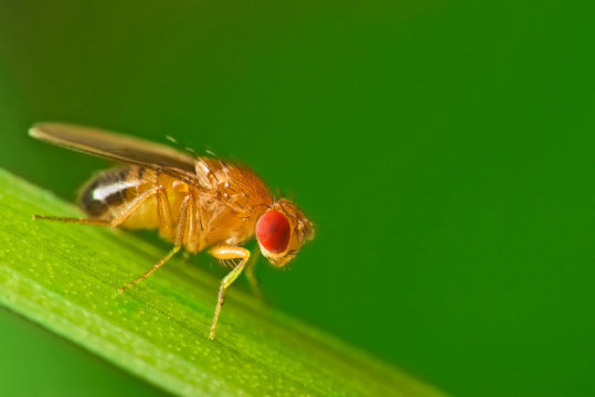 Sleepy Fruit Flies: Complex Genetic Network