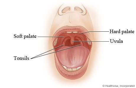 Palate and its function